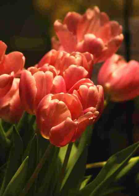 tulips-lo