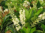 Clethra 'Compacta' from Natural Landscapes