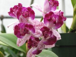 Waldor orchid1