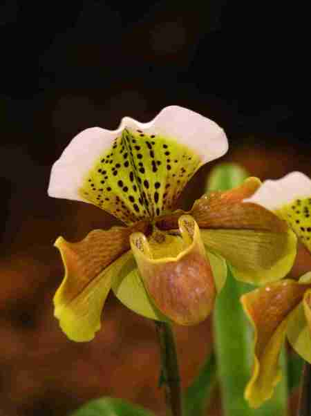 Paph. 'Sixpence' x - Donna Boyle lo