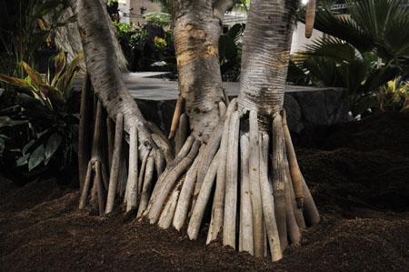 Picture of Pandanus tectorius roots